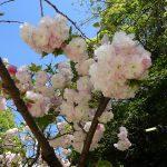4月23日 八重桜