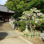 4月13日 八重桜