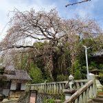 3月29日しだれ桜
