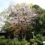 拝殿東の桜