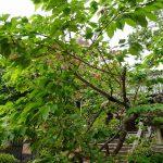 5月6日左近の八重桜
